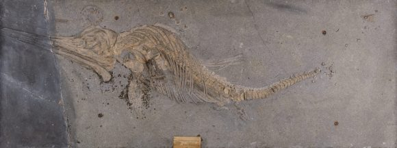 Fossile d'Ichtyosaure