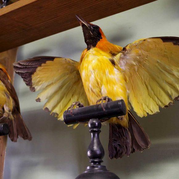 Récolement et dépoussiérage des oiseaux
